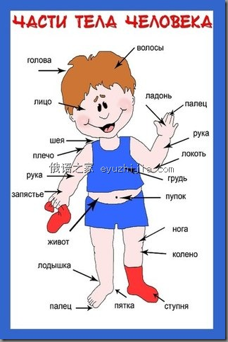 俄语身体各部位